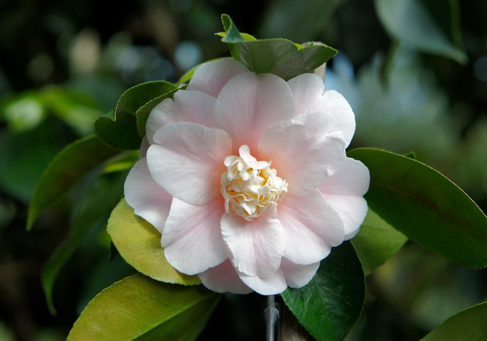 Camellia Japonica C.M. Wilson
