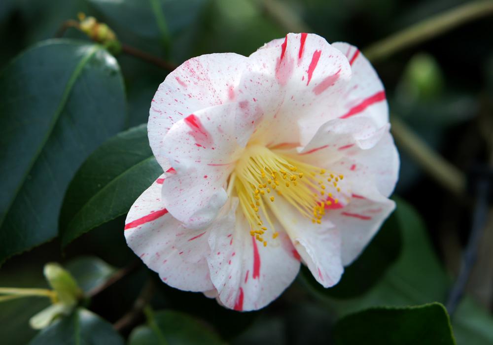 Camellia Japonica Tricolore Florentine