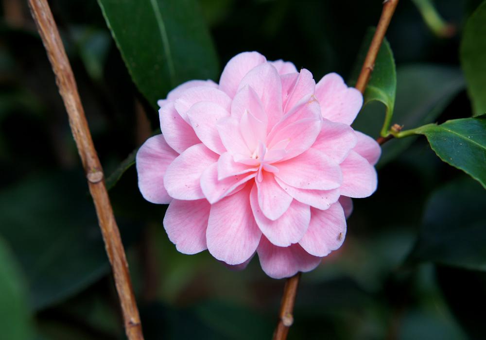 Camellia Japonica Ave Maria