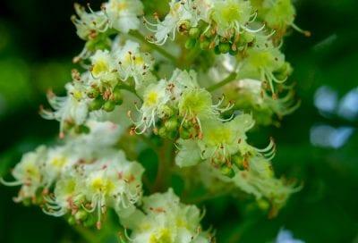 Kastanie Kastanienblüten Blumen flowers nature natur каштан природа