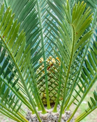 palm Palme пальма ананас pineapple Ananas tropical plant