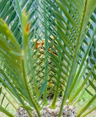 palm Palme пальма ананас pineapple Ananas tropical plant